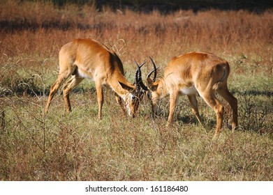 Rutting puku in South Luangwa National Park