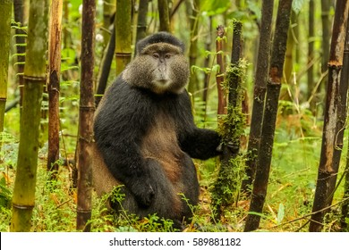 Rwandan golden monkey sitting in the middle of bamboo forest, Rwanda