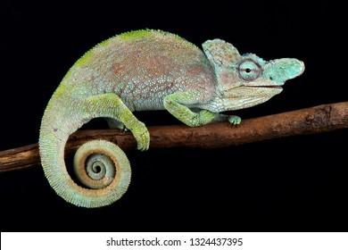 Rwenzori plate-nosed chameleon (Kinyongia xenorhina)