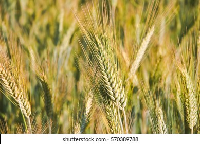 The rye crop (Secale cereale) on the field