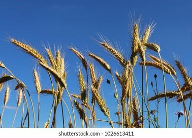 rye ears in summer