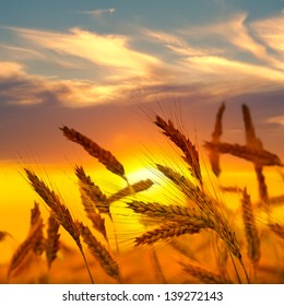 Rye ears at sunset. Summer landscape.