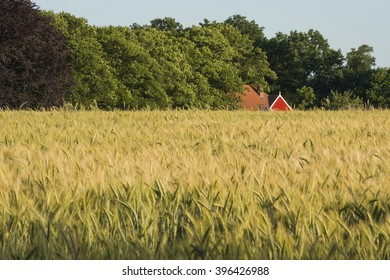 Rye field in the Achterhoek in Netherlands with an authentic farmhouse with red frame in the background