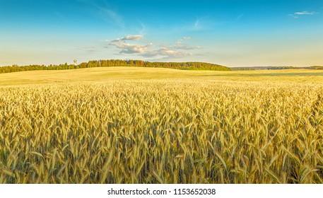 Rye field. Belarus.