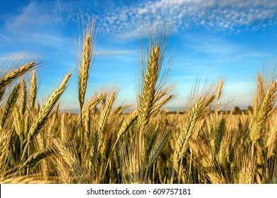 Rye field, Belarus.