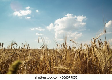 Rye field with blue sky, agriculture, background - Shutterstock ID 506379055
