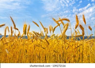 Rye field. Rye ears. Summer landscape.