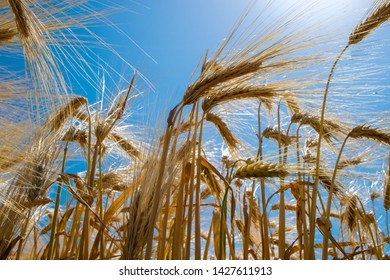 Rye field. Golden rye ears close up. Beautiful rural scenery under sunlight. Gold rye flied landscape. Agriculture, harvest cereal concept