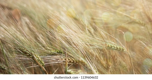 Rye field on a sunny day. Ear of rye close-up. Beautiful rural landscape. The concept of a rich harvest. Selective focus, close-up, side view, copy space.