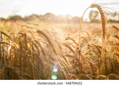 Rye field with single ear in evening sunlight and romantic mood.