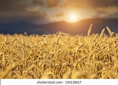 Rye Field at Sunset