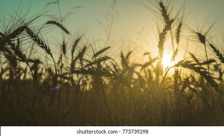 rye field at sunset
