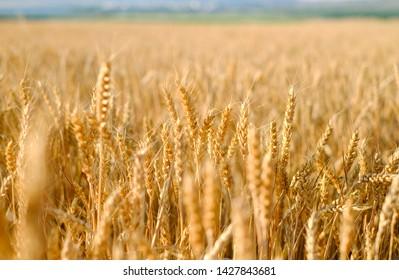 Rye field at sunset, ripe rye, rye harvest on the field