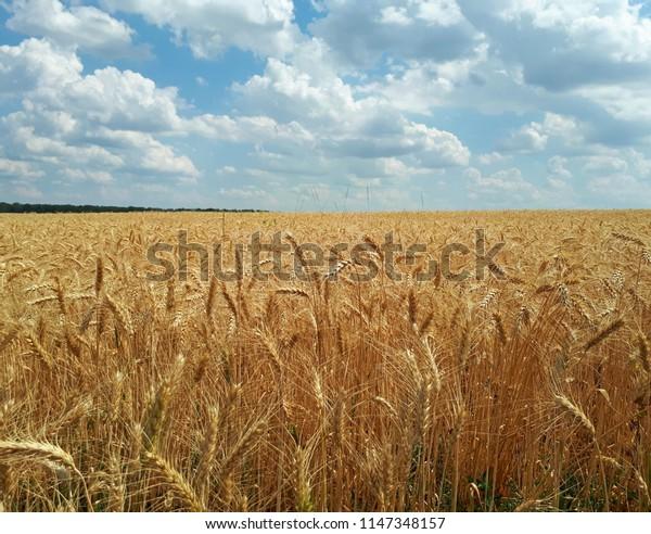 Rye field under the summer hot sun, ripe ears of rye
