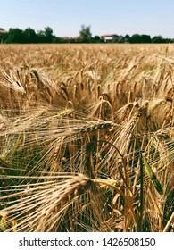 Rye field under the sun, ripe ears of rye. Golden wheat field.