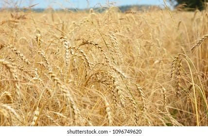 Rye grain harvest on rye field landscape