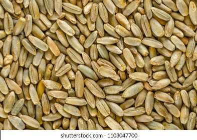 Rye grains, macro photo, from above. Secale cereale, grains. Food photo, close up.