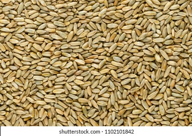 Rye grains, surface, from above. Background. Secale cereale, grain, cover, forage crop. Member of wheat tribe. For flour, bread, beer, whiskey, vodka and animal fodder. Food photo closeup, from above.