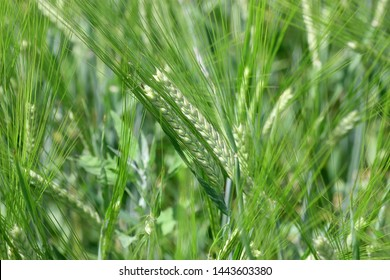 The rye green  growing in the field. Rye ear close up. Secale cereale. Poaceae Family.