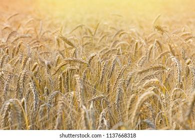 rye on the field ripe
