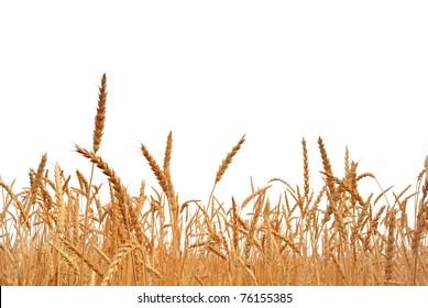 Rye. Rye on a white background. Harvest.