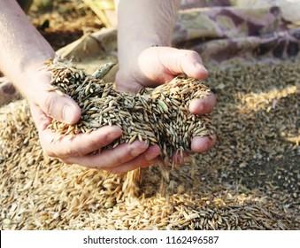 rye runs through farmer's fingers (handful of rye, autumn rye harvest)