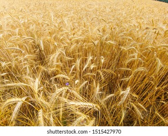 Rye (Secale cereale) is a grass grown extensively as a grain and as a forage crop.