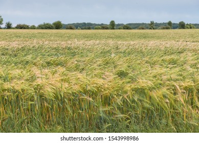 Rye, Secale cereale. Rye green growing in the field. Summer landscape with sky