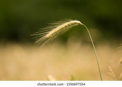 Rye (Secale cereale), North Rhine-Westphalia, Germany