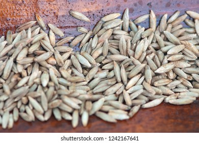 Rye seeds on wood background. (Latin name: secale cereale)