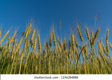 Rye and wheat field. Ripe grain spikelets. Cover crop and a forage crop. Blue sky background. Agricultural concept.