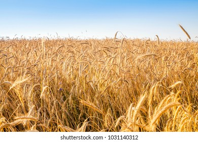 Rye and wheat fields ready for harvesting