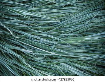 Ryegrass grass in the garden after the rain .