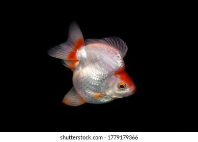 Ryukin Golden fish on Black Background