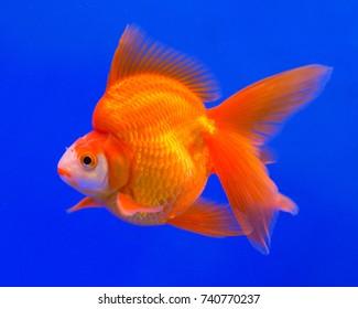 Ryukin goldfish in a blue background