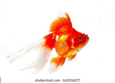 Ryukin Goldfish, carassius auratus, Adult Against White Background