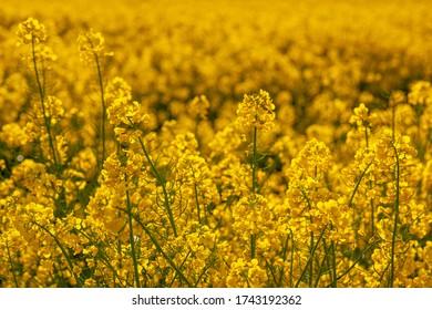 Rzepak - żółte kwiaty rzepaku - krajobraz rolniczy, Polska, Warmia i mazury - Shutterstock ID 1743192362
