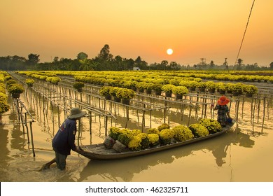 Sa Dec flower village, Dong Thap province, Vietnam - February 07,2015: Farmer havesting blooming yellow daisy pots on floating farm for sale before Vietnam Tet holiday.