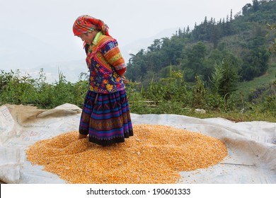 SA PA, VIETNAM - OCTOBER 4: An unidentified Hmong women drying her corn under sunlight on October 4, 2013.