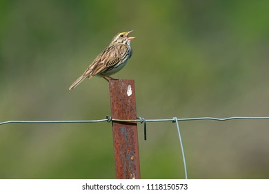 Saannah Sparrow perched on a page wire fence post welcoming the morning with its song. Carden Alvar Provincial Park, Kawartha Lakes, Ontario, Canada.