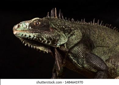 Sabah black iguana (Iguana iguana ssp)