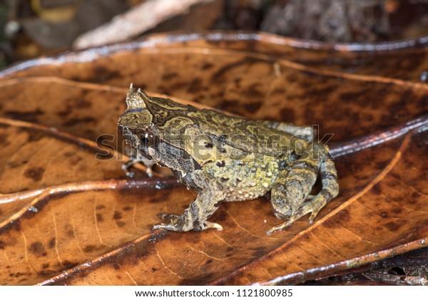 Sabah, Borneo, Malaysia horn frog Xenophrys baluensis