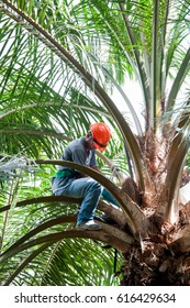 SABAH, MALAYSIA, DECEMBER 2015 - an employee does the work of palm oil female flower control pollination for the production of quality geminated seeds