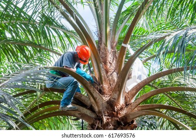 SABAH, MALAYSIA, DECEMBER 2015 - an employee do the work of palm oil female flower control pollination for the production of quality geminated seeds
