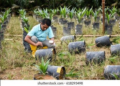SABAH, MALAYSIA - JULY 2016 : A Wokers marking a poly bag in oil palm nursery