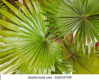Sabal minor, commonly known as the dwarf palmetto, is a small species of palm. Saw palmetto.