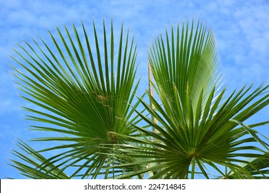 Sabal palmetto (Cabbage palmetto) leaves against cloudy blue sky