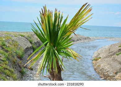 Sabal palmetto (Cabbage palmetto) on the Black Sea coast