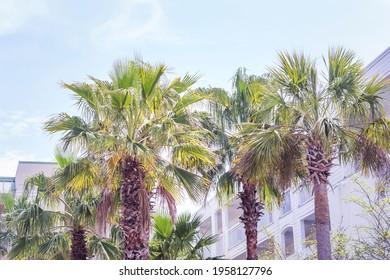 Sabal Palmetto Palm Tree in the Sun