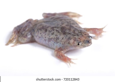 Sabana Surinam toad, Pipa parva